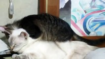 Funny Cats: A dog & a kitten tries to mate with a cat