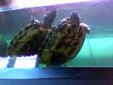 Tortues dans l'aquarium