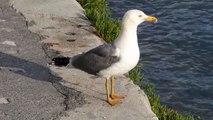 Ptice Hrvatske - Galeb klaukavac (Larus cacchinans) (Birds of Croatia - Yellow-legged Gull) (2/3)