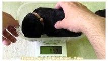 Puppy 7 days old Labrador Retriever - litter J Nice Friend