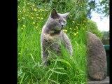chat gris,chat noir