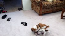 Jack Russell Terrier (JRT)  vs. Rat Terrier  Play Fighting