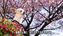 チワワのChihiro's Cherry Blossom