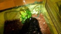 How to care for a Mexican Redknee Tarantula (Brachypelma smithi)