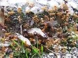 Queen ants leave colony (Lasius Flavus) 2/2