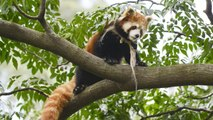 Saving a species: Caring for seven endangered red panda cubs