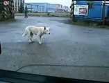 Crazy dog move and dance for a music _ funny dog _ funny animals _ funny pets video of dogs