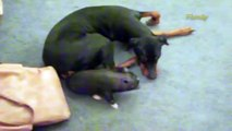 Piglet Loves Playing with Dobermann Friend | My Dog's Crazy Animal Friends