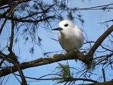 Midway Atoll White Tern Gygis alba Perching