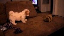Shin Tzu mix maltese puppy  barking