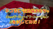 電動猫おもちゃ【キャッチ・ミー・イフ・ユー・キャン】で遊ぶネコ吉  プフッ(*゚艸゚*)-3    【子猫 Kitten】