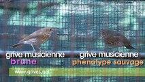 Mutation des grives - Grive musicienne brune et phénotype sauvage