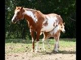 American Paint Horses!