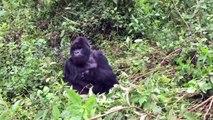 Mountain Gorillas of Rwanda   Volcanoes National Park