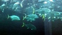 Vue en gros plan de requins et piranhas. SHARK and piranhas HD