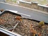 Mozart Et Les Oiseaux (2) ( Mozart and Birds)  European-Goldfinch free