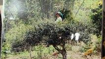 Difference about High Mountain and tea garden Puerh Tea