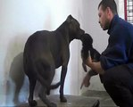 Un Pitbull che aggredisce  un cucciolo di  Pastore Tedesco (Pitbull attacks pup of German Shepherd).