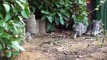 Pallas Cat Kittens - 12 weeks old pt2