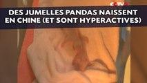 Des jumelles pandas hyperactives naissent en Chine