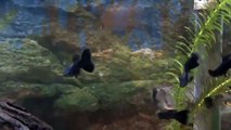 Moscow Black Guppy for sale at Tyne Valley Aquatics