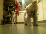 four month old bichon/yorkie mix playing with a bouncy ball