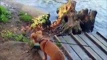 Ember the Nova Scotia Duck Tolling Retriever learns to swim!