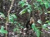 Mono carablanca en Manuel Antonio - Costa Rica