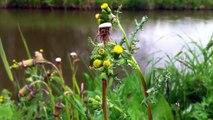 Common Groundsel (Senecio vulgaris) - 2012-04-29