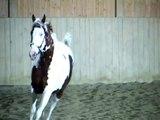 The American Paint Horse Stallion  Elans Choice