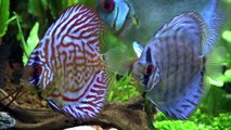 Throught the Distance - Day 40 - Newborn Discus on a Community Tank