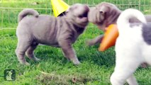 Shar Pei Puppies Throw A Shar Par-Pei Par-tay!