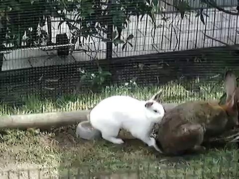 Rabbits having sex