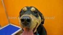 Mixed Color 2 Months Old Dangerous Rottweiler Pet Dog