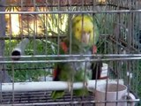 Canta Güero - der weltbeste singende Papagei