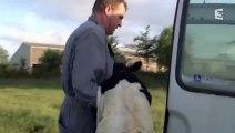 Touchant : terrible séparation entre une vache et son veau