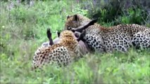 Leopard And Warthog Fights 2015 – Animal Fights – Wildlife Documentary