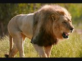 Tribute to African Lion. The cowards of Africa, ahahhahahah yes sir.