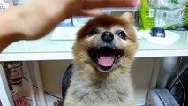 老犬ポメラニアン Old dog pomeranian