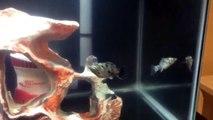 "Molly Fish ""Mollies"" Care, Tank Mates, Food, Size & Habitat"