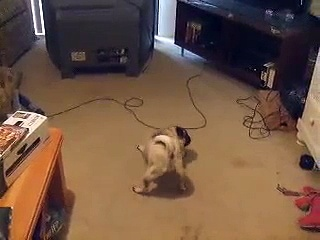 Pug vs TV