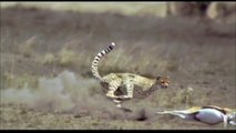 Cheetah Hunting - Slow Motion