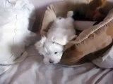Cute Maltese puppy barking at the camera - and playing!