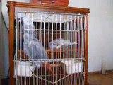 Geveze Papağan Yakup- Talkıng Afrıcan Grey Parrot Yakup(2)