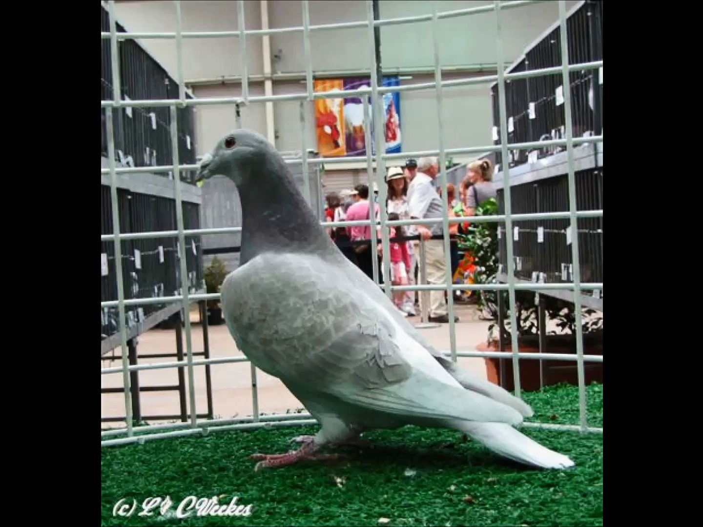 British Show Racer Pigeons!