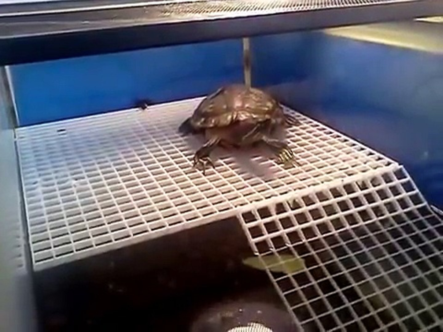 Howard On His Basking Pvc Egg Crate Turtle Dock And Ramp Diy