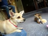 Ping Pong and Rocket CUTE jealous dog dogs playing with toy toys pig puppy