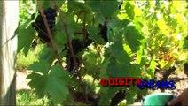 VITICULTURE - VINS GEORGES DUBOEUF: Vendanges en Beaujolais