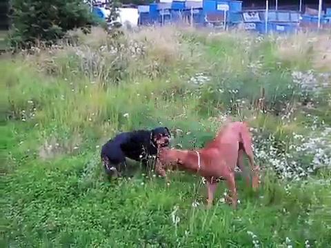rhodesian ridgeback vs rottweiler