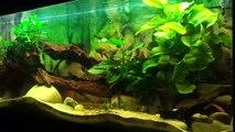 Vue d'ensemble de mon aquarium de 1000 litres Cichlidés Amerique centrale